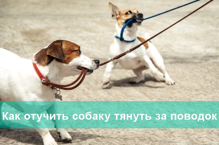 Как отучить собаку тянуть за поводок