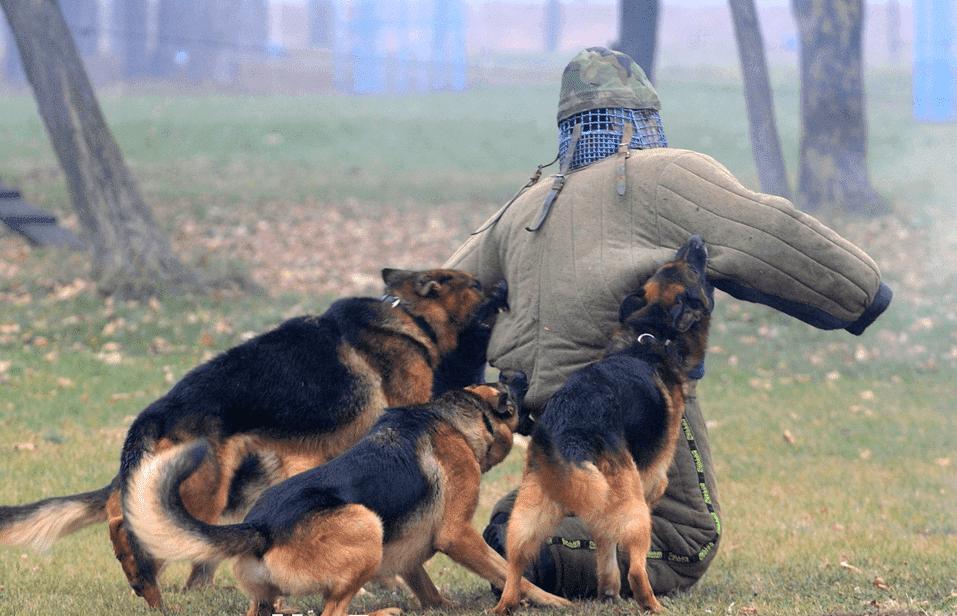 обучение собак на защиту - курсы Кинолог