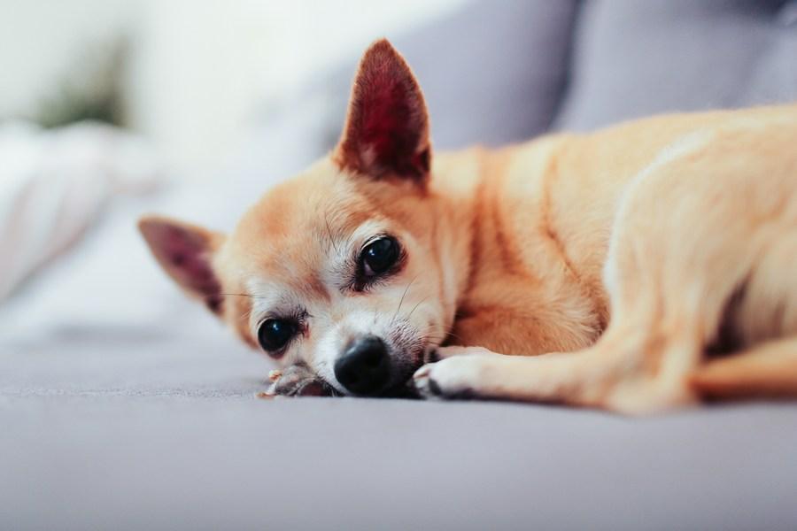 Чихуахуа - маленькая собака
