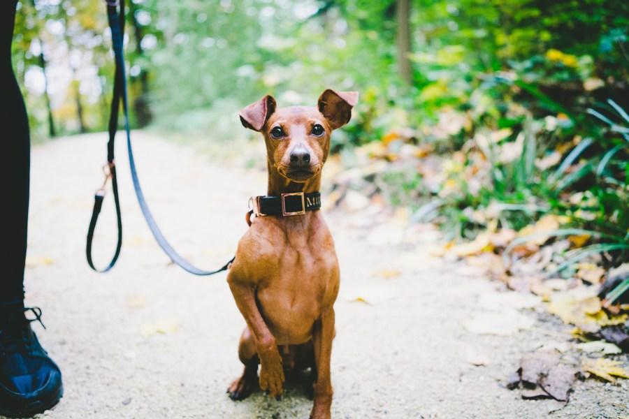 Карликовый пинчер - маленькая активная собачка