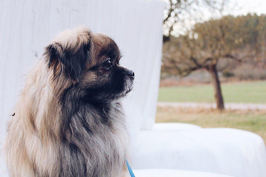 Пекинес - гордая маленькая порода собак