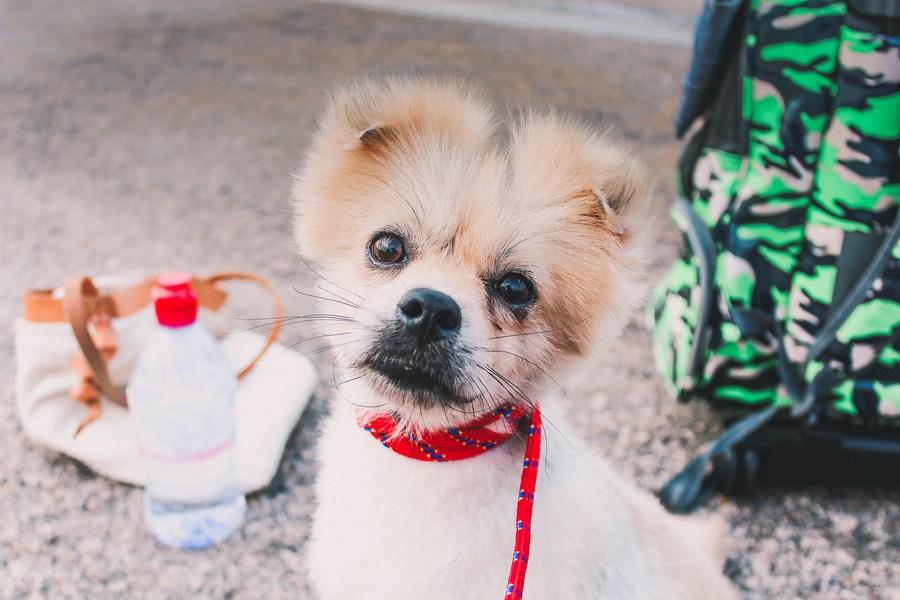 Померанский шпиц - мелкая порода собак