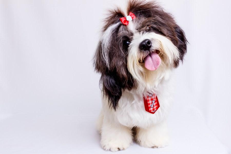 Ши-тцу - небольшая властная собака