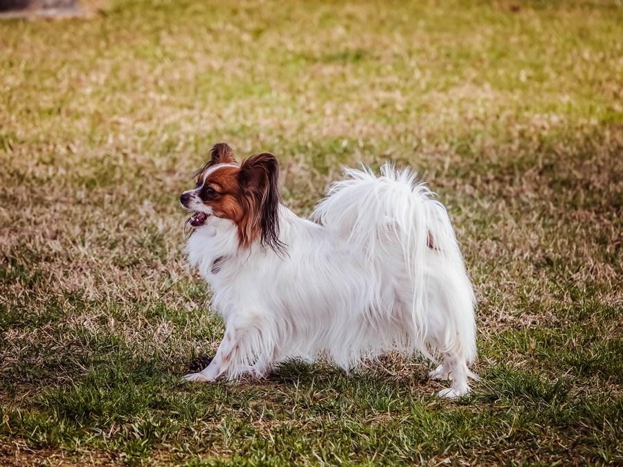 Папильон - небольшая собака в квартиру