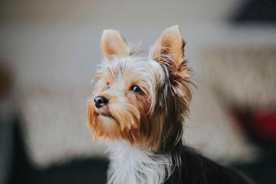 Йоркширский терьер - маленькая собачка